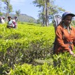 Постер, плакат: Female Tea Plantation Workers Sri Lanka