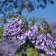 Jacaranda blossom in spring at Johannesburg street — Stock Photo #61513665