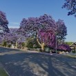 Jacaranda blossom in spring at Johannesburg street — Stock Photo #61513671