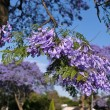 Jacaranda blossom in spring at Johannesburg street — Stock Photo #61513673