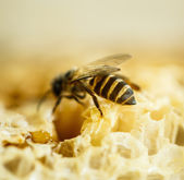 Abejas en una colmena de abejas en panal — Foto de Stock
