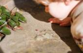 Little child watching and explorering a ladybug. — Stock Photo