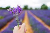 在普罗旺斯,法国的 valensole 附近的薰衣草田. — 图库照片