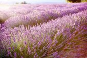 Lavender fields near Valensole in Provence, France. — Stock Photo