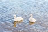 Bird family: swan cygnets, on a lake. — Stock Photo
