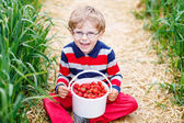 Little child picking and eating strawberries on berry farm — Stock Photo