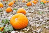 Pumkin field with different types of pumpkin on autumn day — Stock Photo