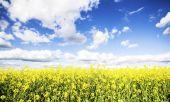 Campo de colza en flor con cielo azul y nubes blancas — Foto de Stock