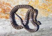 南部的光滑蛇 (Coronella girondica) — 图库照片