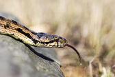 Close up macro shot of a beautifully Southern Smooth Snake (Coro — Stock Photo