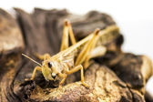 Migratory locust (Locusta migratoria) isolated on a log — Stock Photo