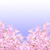 Collage of colors pink hyacinth — Stock Photo