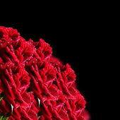 Red roses on a black background — Stock Photo