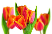 Composition of two-tone tulips  — Stock Photo