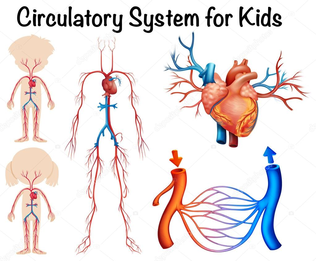 Digestive System as well Stock Illustratie Cirkel Van Willis Image41817598 also Digestive System Diagram For Kids further Tunica Vaginalis likewise Human Eyes. on circulatory system diagram labeled