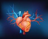 A human heart — Stock Vector