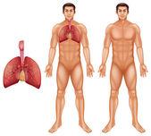 Human respiratory system — Stock Vector