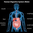 Human digestive system — Stock Vector #58631169