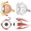 Постер, плакат: Anatomy of the eye