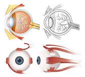 Anatomy of the eye — Stock Vector