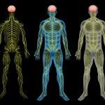 Постер, плакат: The nervous system