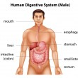 Human digestive system — Stock Vector #58926425