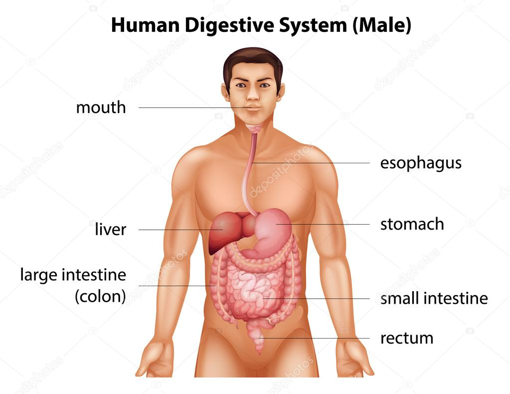 depositphotos_58926425-Human-digestive-system.jpg