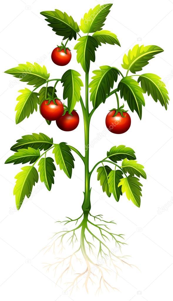 Tomate del rbol vector de stock 92420976 depositphotos - Dessin de tomate ...