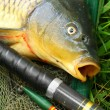 Catching fish. The Common Carp — Stock Photo #65962459