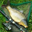 Catching fish. The Common Carp — Stock Photo #65962513