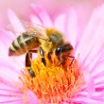The European honey bee — Stock Photo #65964901