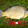 Catching fish. The Common Carp — Stock Photo #65965213