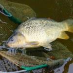 Постер, плакат: Fishing catch The Common Carp