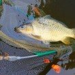 Постер, плакат: Fishing catch The Common Carp