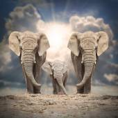 African elephant (Loxodonta africana) family — Stock Photo