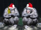 Two drunken chimpanzees — Stock Photo