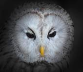 The Ural owl — Stock Photo