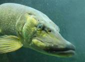 Underwater photo of a big Northern Pike — Stock Photo