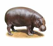 Hilarious Hippo isolated — Stock Photo
