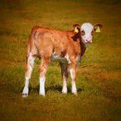 Cute calf cow — Stock Photo