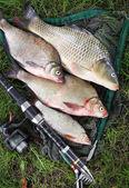 Catching fish. The Common Carp — Stock Photo
