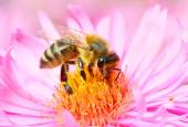 The European honey bee — Stock Photo