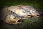 Catch of fishes. European Chub — Stock Photo