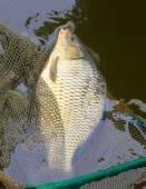 Fishing catch, The Common Carp — Stock Photo