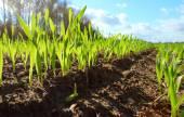 Wheat seedlings growing in a soil — Zdjęcie stockowe