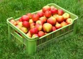 спелые яблоки свежие — Стоковое фото