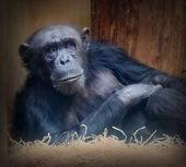 Old chimpanzee resting. — Stock Photo