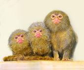 The Pygmy Marmoset family — Stock Photo