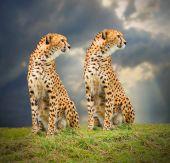 The Cheetah (Acinonyx jubatus) in african savanna — Stock Photo