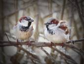 The pair of a House Sparrow — Stock Photo